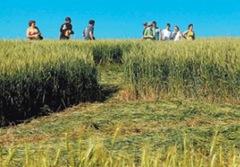 Sinais na plantação em Ipuaçu (SC) atraíram curiosos. Marcas se estendem por 44 metros, e a forma como trigo se dobrou é intrigante.