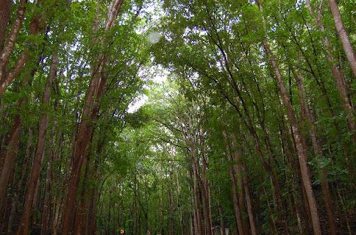 ボホール島・マンメイドフォレスト ※山の木