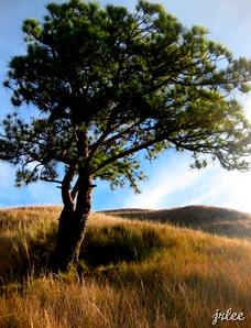 lone tree at the grassland