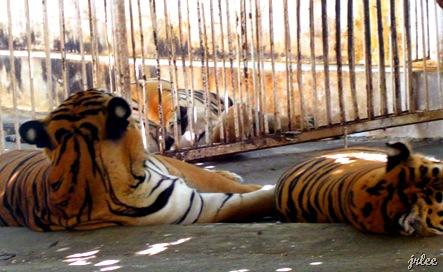 tigers at baluarte