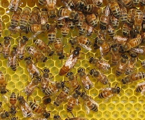 Itaalia mesilane