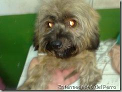 eczema en perros (1)