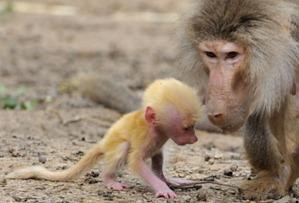 Filhote ruivo virou o centro das atenções no Ramat Gan Safari