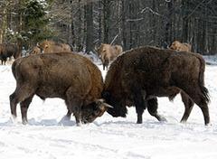 Bisões Americanos (Bison bison) Imagem: Associated Press