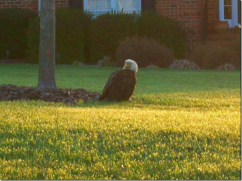 Eagle 008