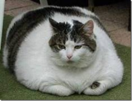 kucing obese