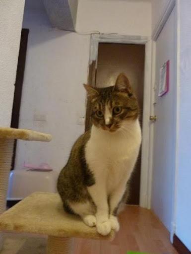 Moli preciosa gata de dos años en adopción. ¡Adoptada! P1140784