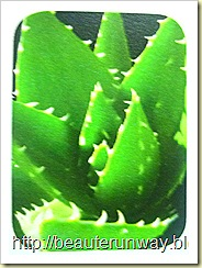 organic Aloe fr guatemala