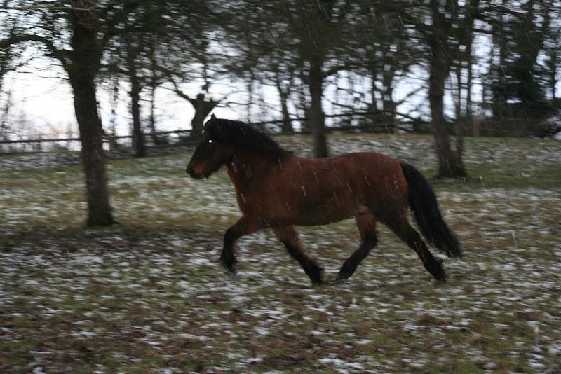 Le  calvados sous la neige... les chevaux s'éclatent! IMG_5013