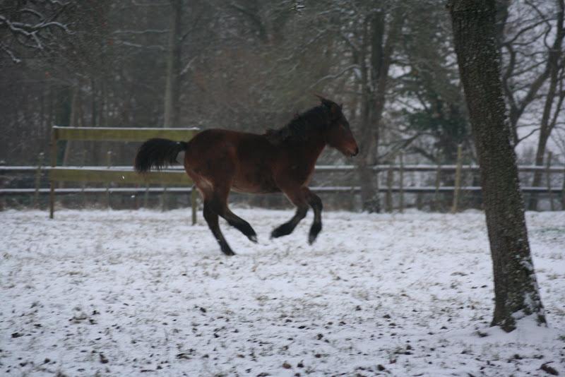 Le  calvados sous la neige... les chevaux s'éclatent! IMG_4943