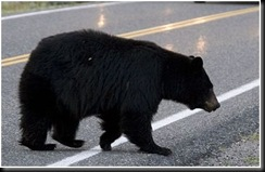 Black bear on road