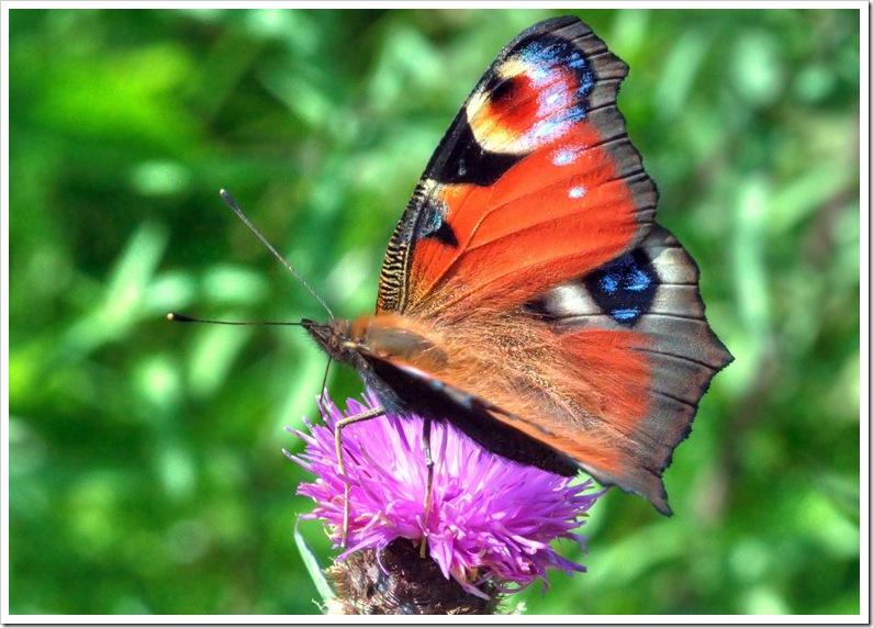 peacock butterfly feeding 2 copy