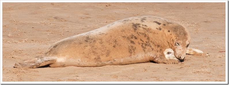 mother with newborn seal pup at donna nook