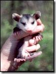 possum11