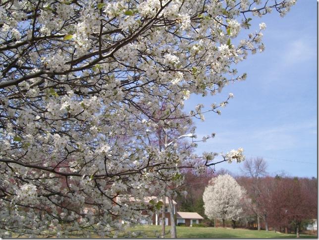 spring dogwood002