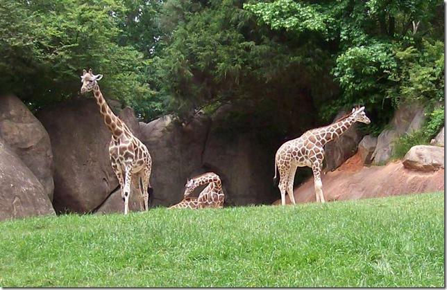 zoo day104-crpd giraffes