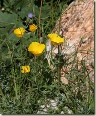 Mojave gold poppy