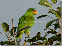 white-fronted-parrot