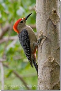 yucatan-woodpecker