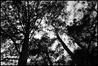 Trees 3 b & w
