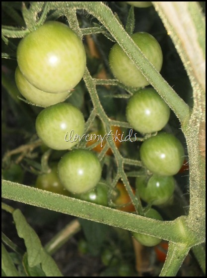 Cherry Green Tomatoes