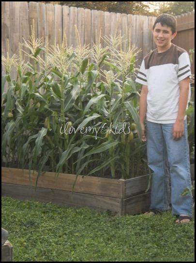 Corn Box in Raised Garden