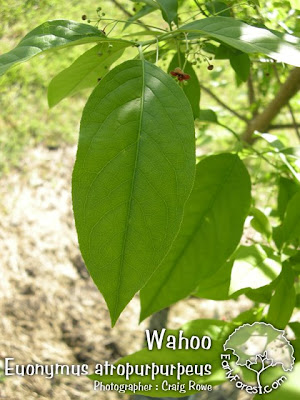 Wahoo Leaf
