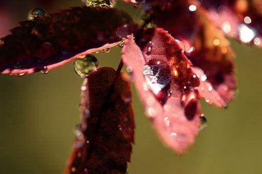 droppe på blad