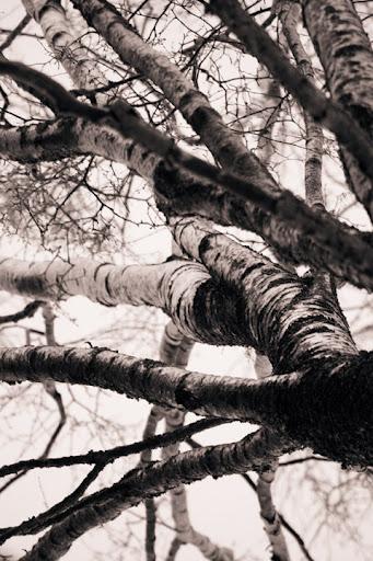 träd i svartvitt