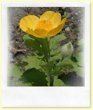 Celadine woodland Poppy