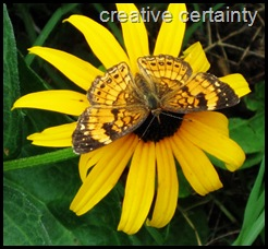 butterfly on black eye susan copy