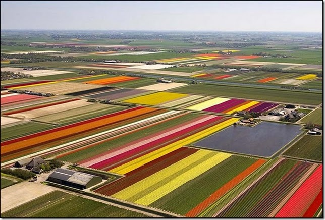 tulip-fields11