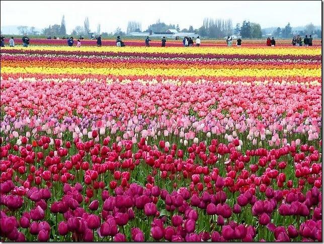 tulip-fields8