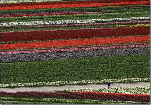 tulip-fields19
