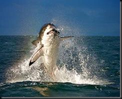 tubarão salto