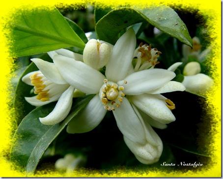 flor de laranjeira sn 2