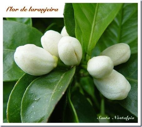flor de laranjeira sn 1