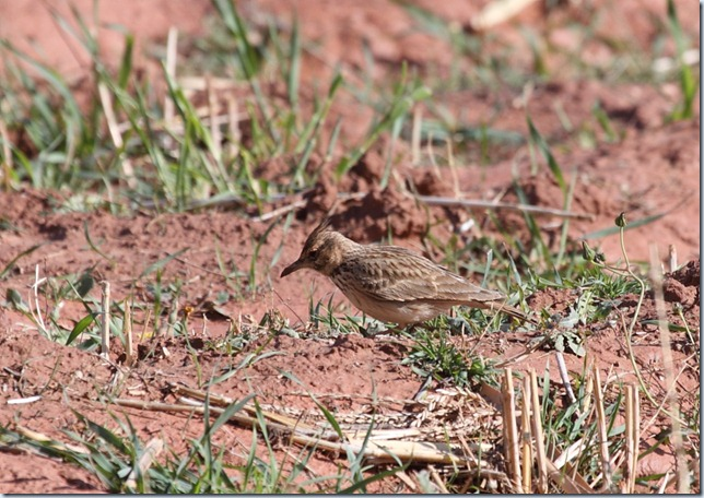 long-billed_crested_lark