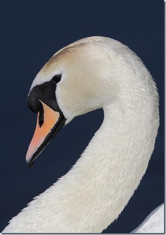 mute swan head