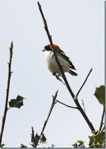 woodchat1