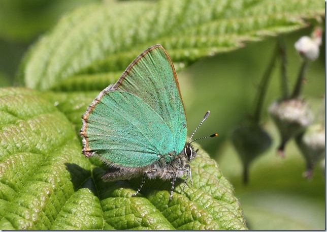 green_hairstreak2