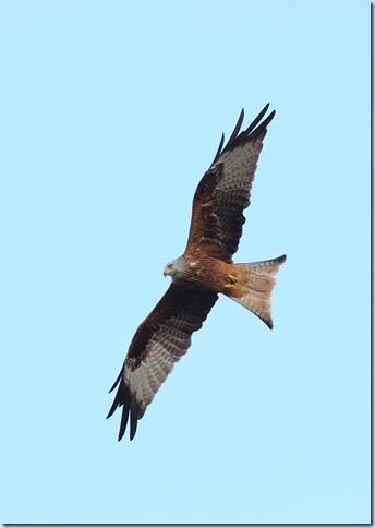 red_kite1