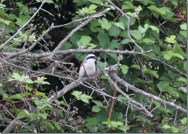 red-backed shrike2