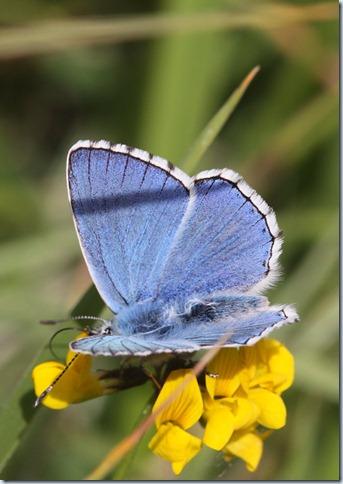 adonis_blue2