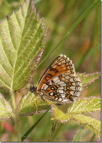 heath_fritillary_underwing