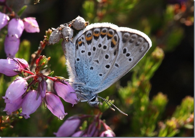 silver_studded_blue