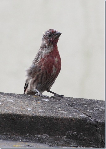 housefinch1