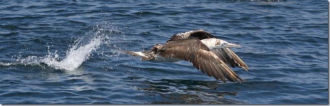 gannet_takeoff