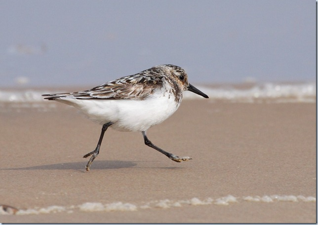 sanderling_running