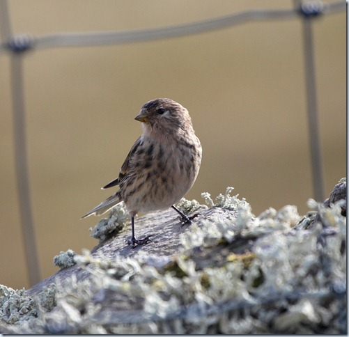 twite1